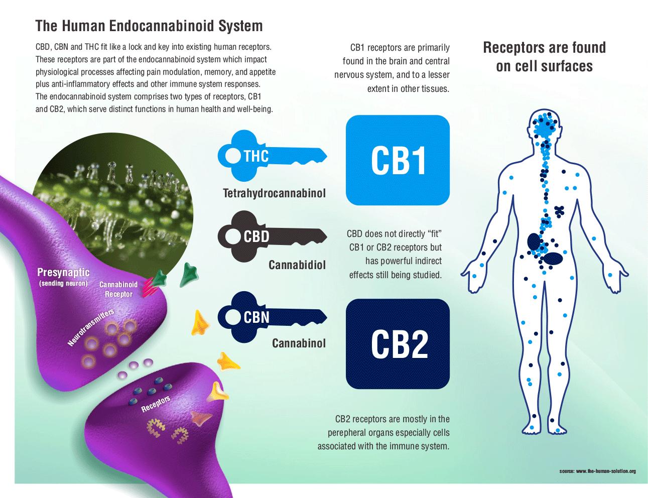 Endocannabinoid System Receptor Sites