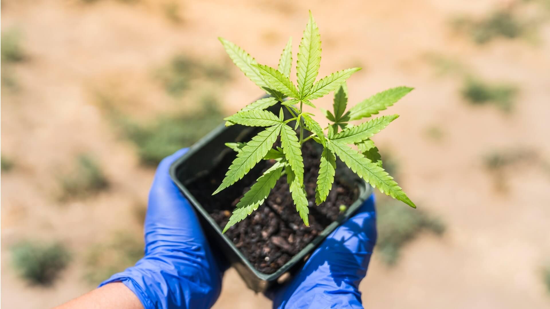 Shop Cannabis Clones at Berkeley Patients Group.